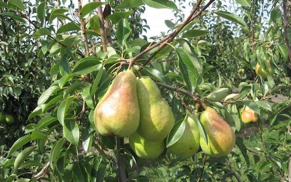 плодовые002