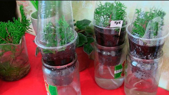 Выращивание туи из черенков