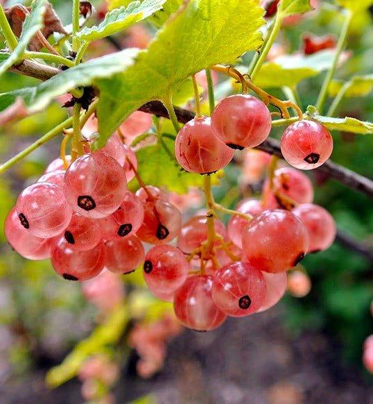 Смородина розовая Голландская
