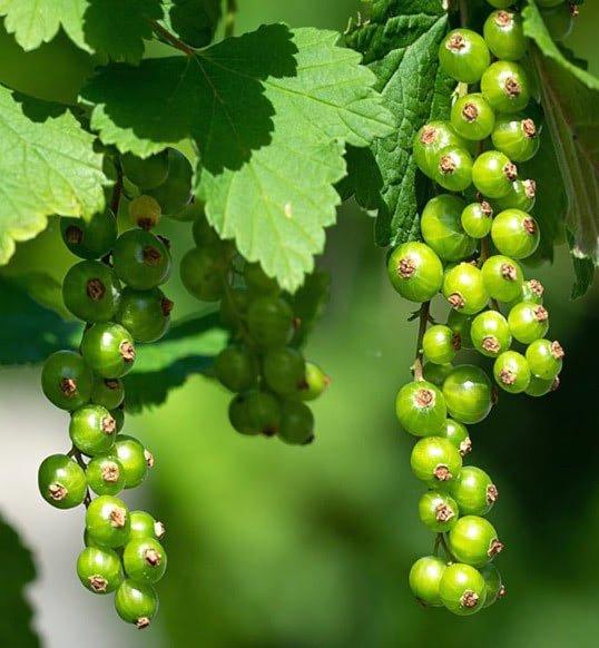 Смородина зеленая Изумрудное ожерелье