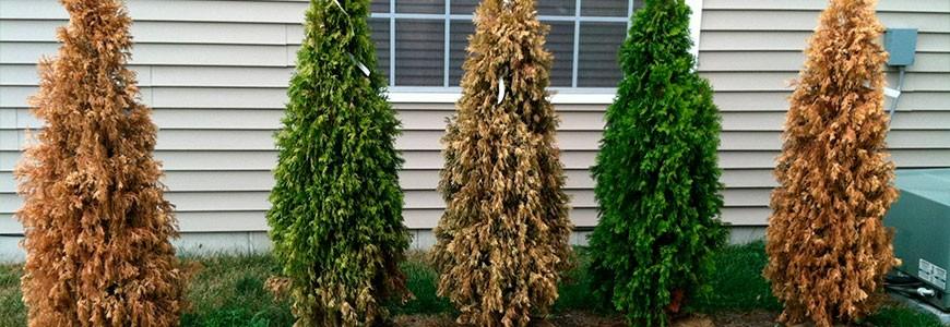Причины изменения цвета хвои туи – почему желтеет хвойное дерево и начинает сохнуть, что с этим делать.