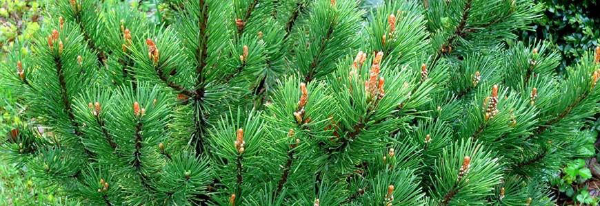 Описание сорта сосны горной Пумилио, особенности посадки и ухода, стрижка и использование хвойного дерева в ландшафтном дизайне.