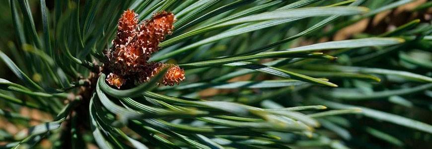 Описание сорта сосны обыкновенная, особенности посадки и ухода, стрижка и использование хвойного дерева в ландшафтном дизайне.