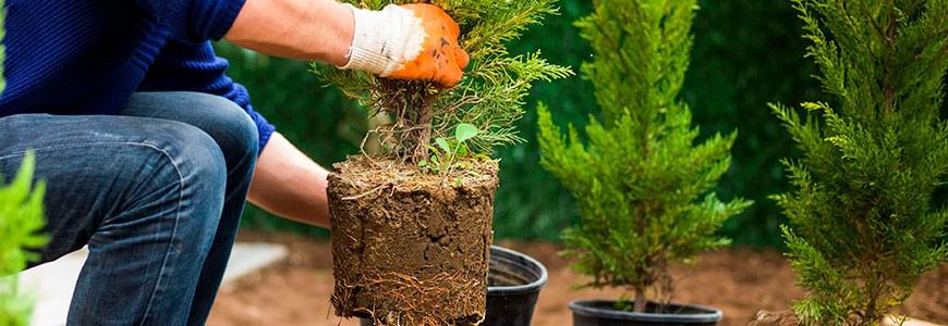Когда лучше пересадить тую на другое место – весной, летом или осенью, можно ли пересадить взрослое дерево без последствий.