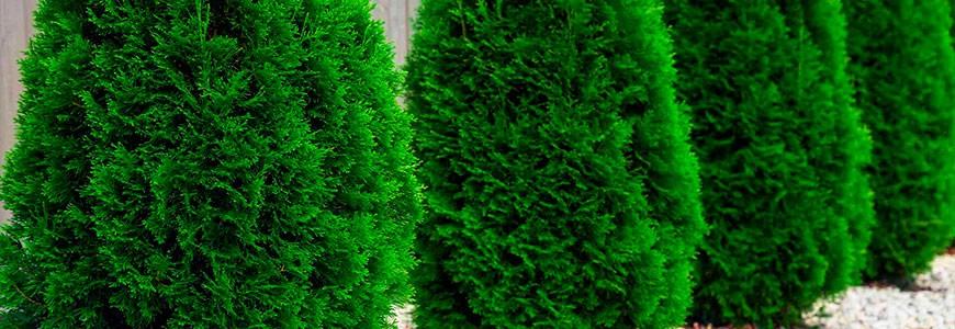 Отличия сортов туи западной Смарагд и Брабант, что лучше выбрать для живой изгороди на садовом участке, какая туя растет быстрее.